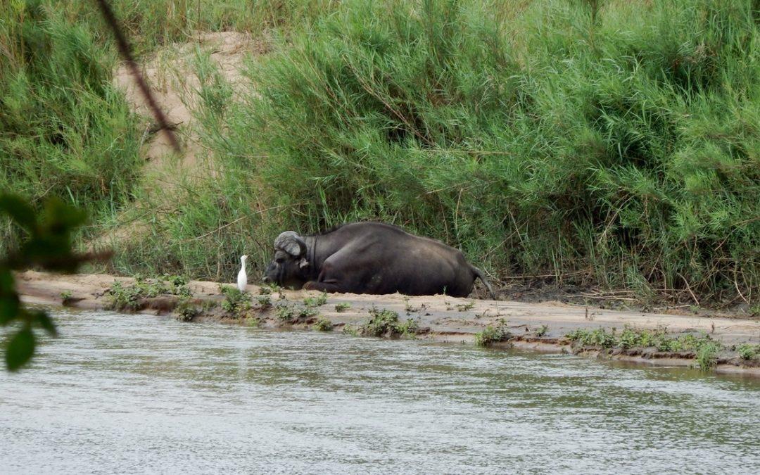 The Loneliest Buffalo