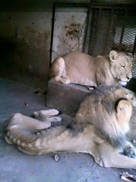 A Plea from the Inmates of Taiz Zoo
